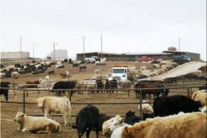 Hereford Feed Yard 1-800-999-5066